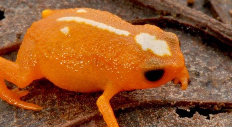 No total 15 espécies de mini sapos foram descobertas pelo projeto ao longo de cinco anos