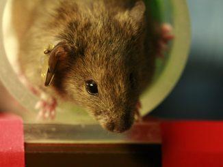 Ratos com quadro de insuficiência cardíaca tratados por seis semanas com a molécula apresentaram não só uma estabilização da doença – como ocorre com o uso dos medicamentos atuais – mas também tiveram regressão do quadro