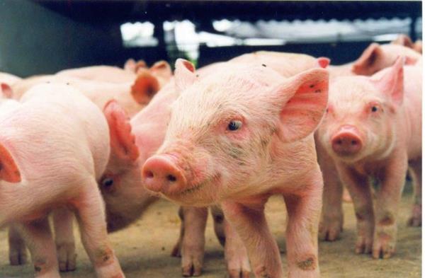 Produção de suínos é mais uma alternativa para o homem do campo rondoniense