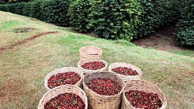 A Política Nacional de Incentivo à Produção de Café de Qualidade também contempla a capacitação gerencial e a formação de mão de obra qualificada.
