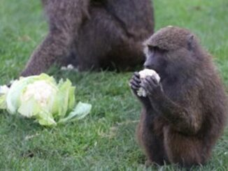 Macacos armados com motosserras e facas são vistos em safári