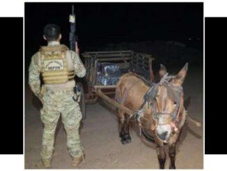 Flagrado burro com 300kgde maconha